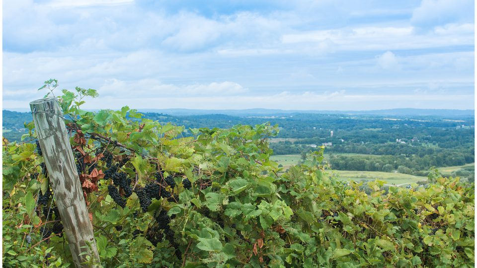 View from a Vineyard in Loudoun County Virginia in the summertime.